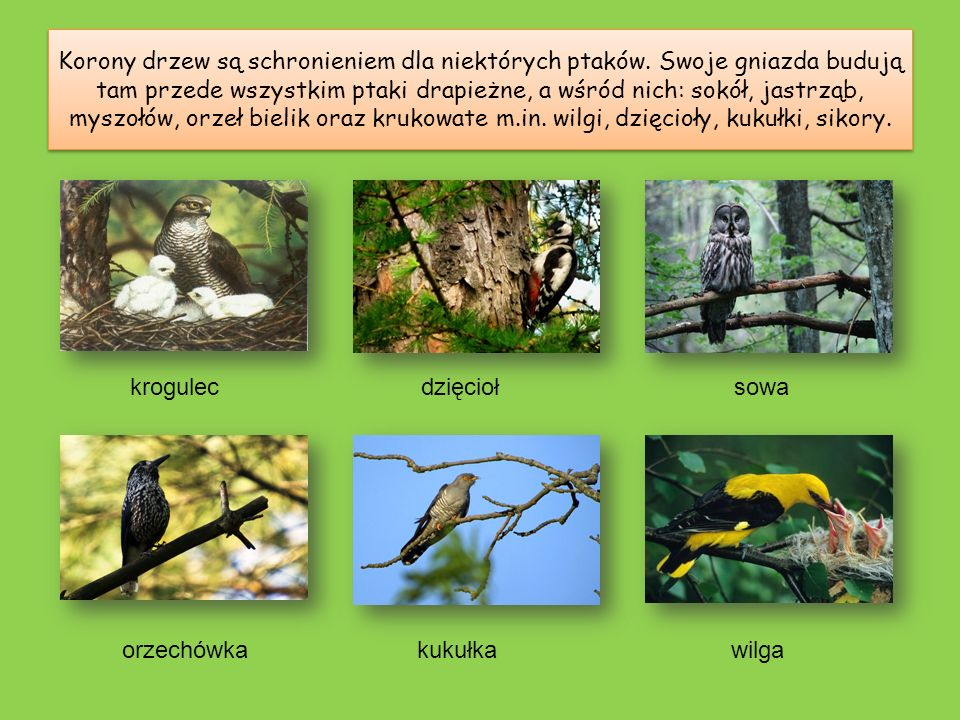 Korony drzew są schronieniem dla niektórych ptaków