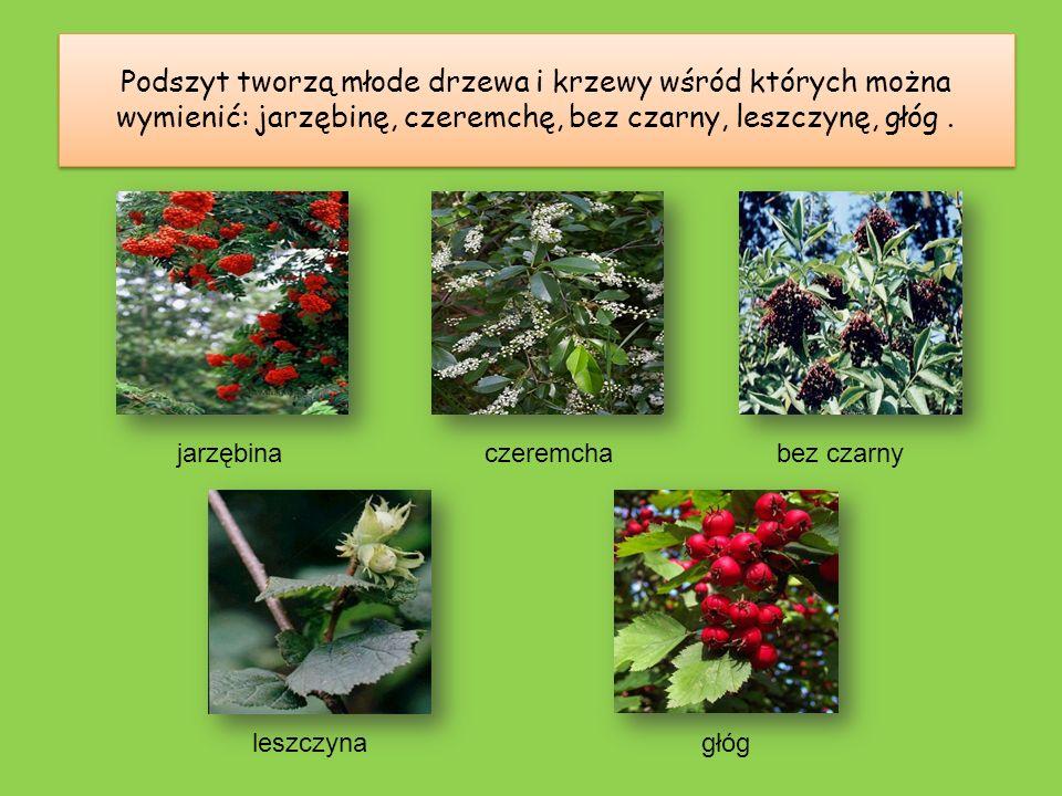 Podszyt tworzą młode drzewa i krzewy wśród których można wymienić: jarzębinę, czeremchę, bez czarny, leszczynę, głóg .