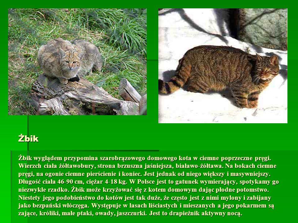 Żbik Żbik wyglądem przypomina szarobrązowego domowego kota w ciemne poprzeczne pręgi.