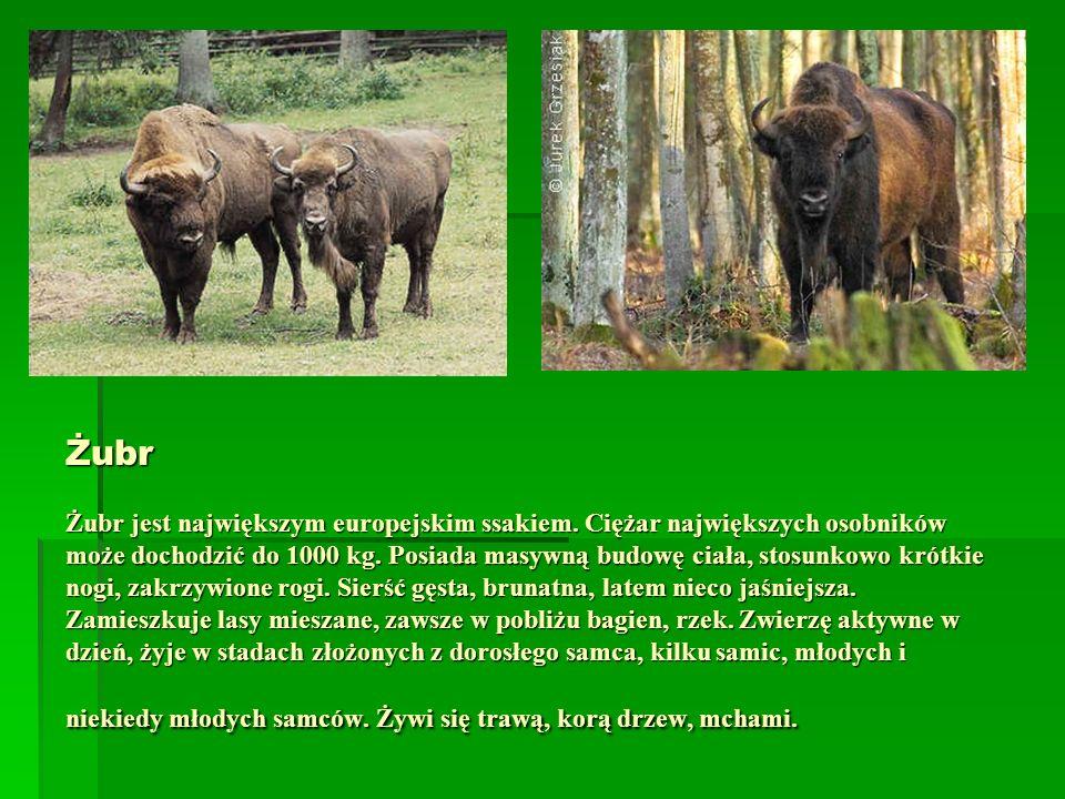 Żubr Żubr jest największym europejskim ssakiem