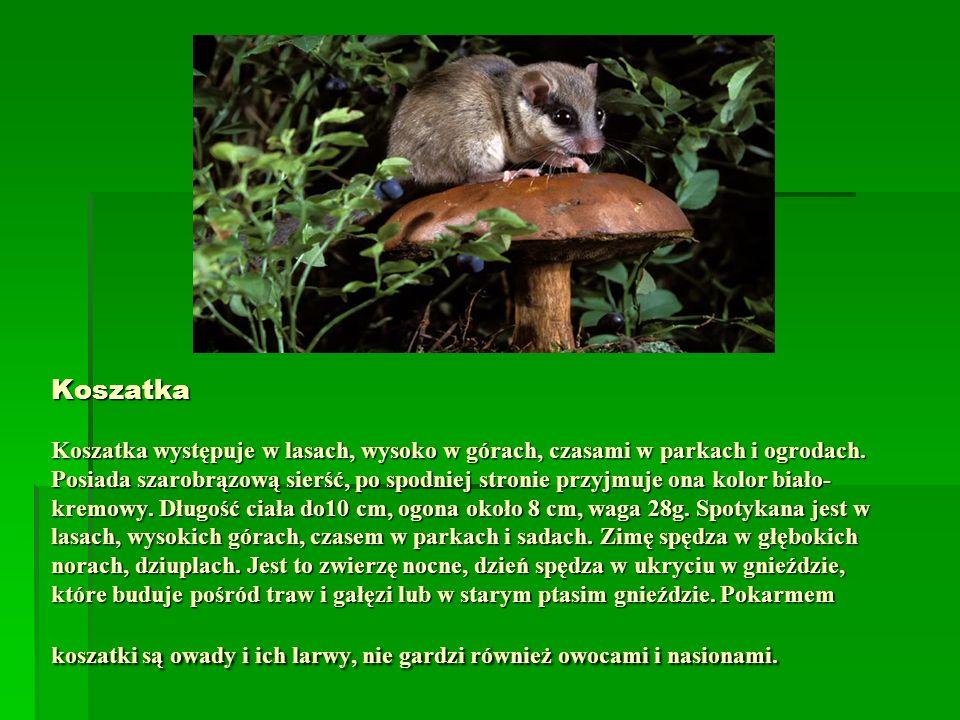 Koszatka Koszatka występuje w lasach, wysoko w górach, czasami w parkach i ogrodach.