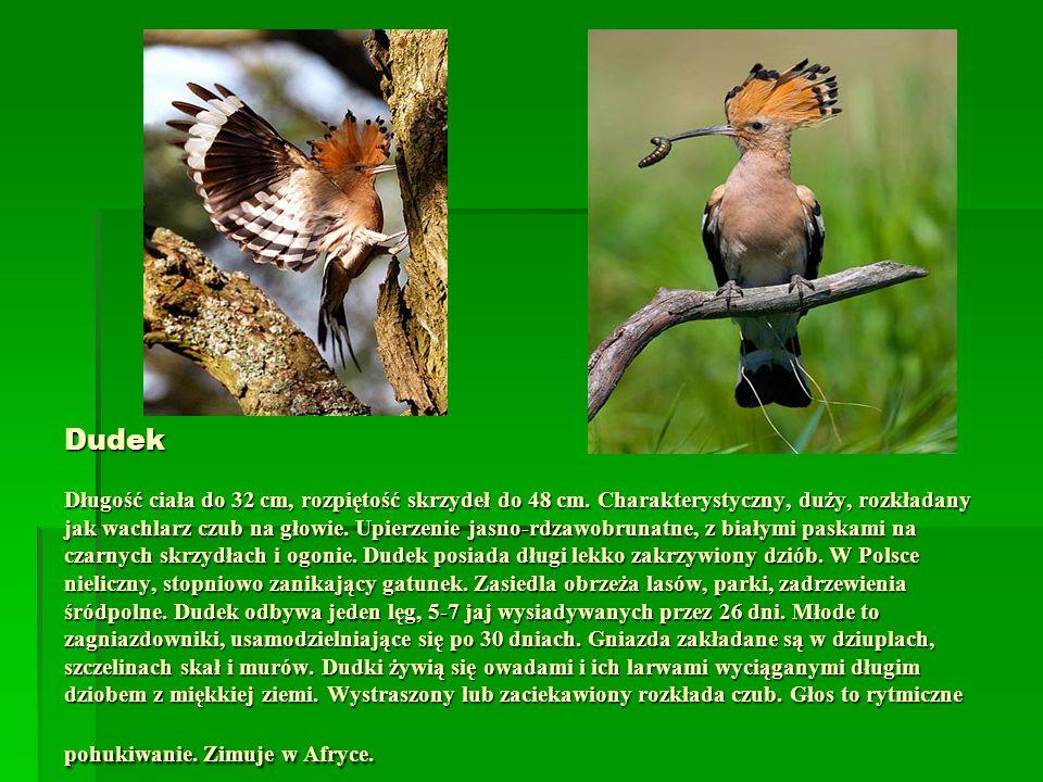 Dudek Długość ciała do 32 cm, rozpiętość skrzydeł do 48 cm