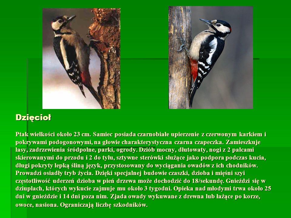 Dzięcioł Ptak wielkości około 23 cm