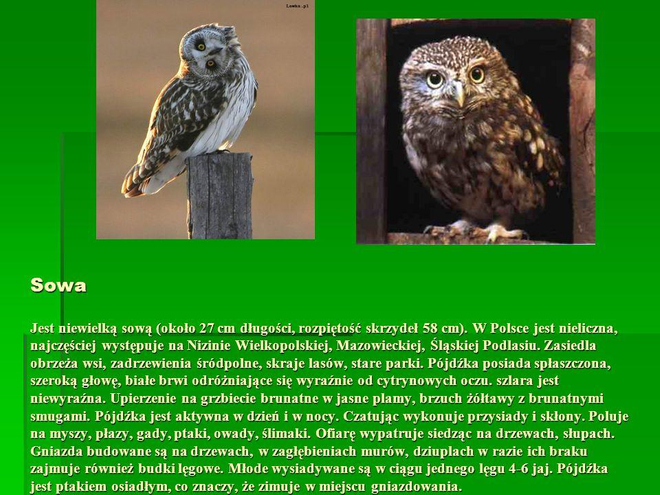 Sowa Jest niewielką sową (około 27 cm długości, rozpiętość skrzydeł 58 cm).