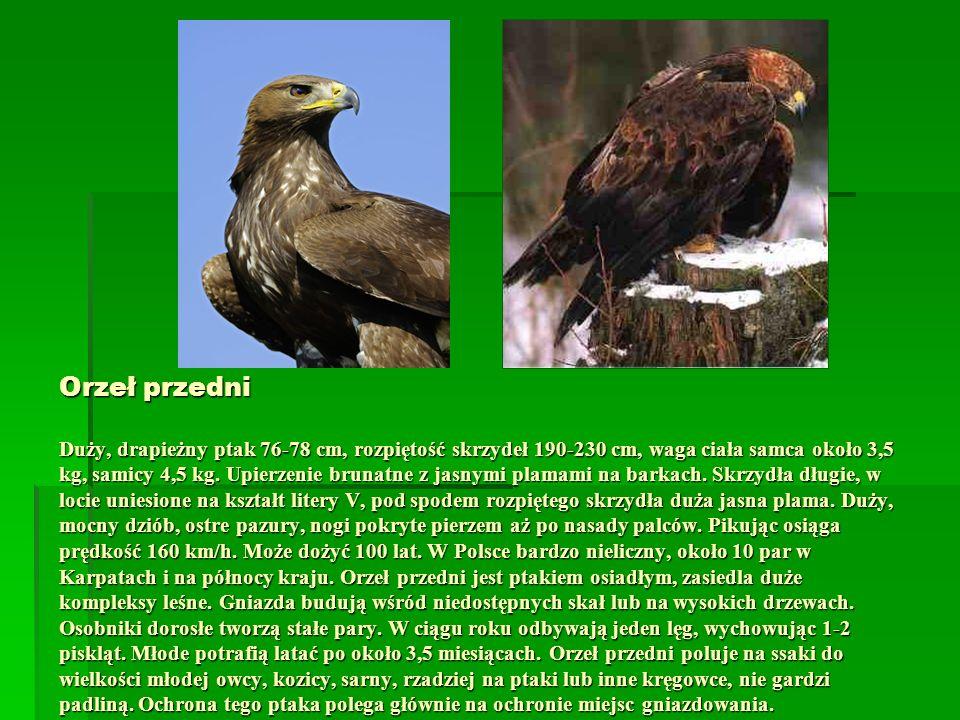 Orzeł przedni Duży, drapieżny ptak 76-78 cm, rozpiętość skrzydeł 190-230 cm, waga ciała samca około 3,5 kg, samicy 4,5 kg.