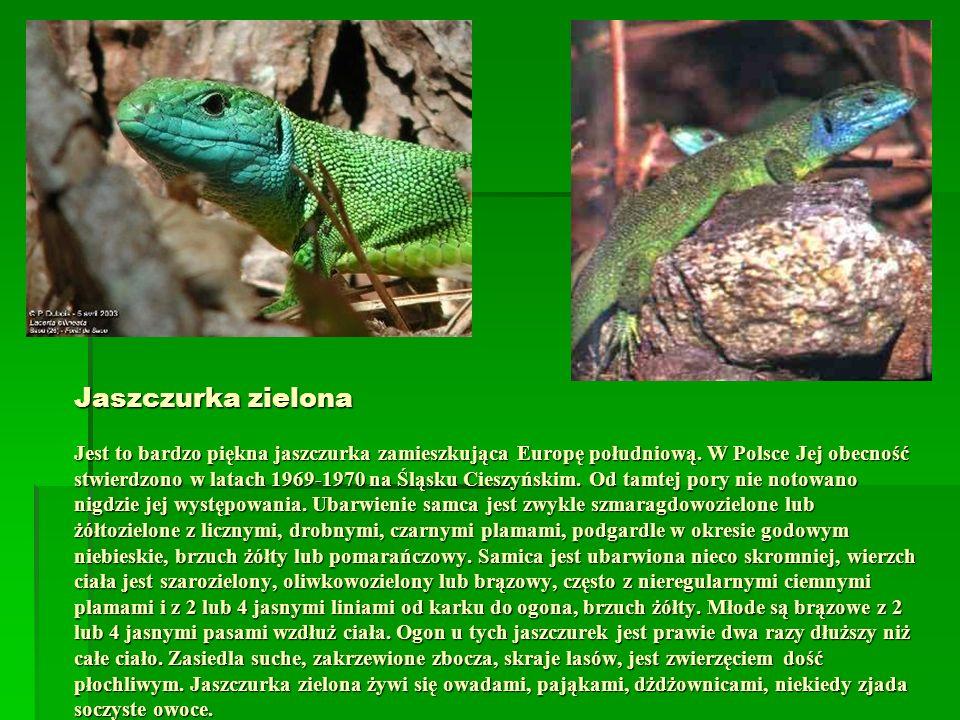 Jaszczurka zielona Jest to bardzo piękna jaszczurka zamieszkująca Europę południową.