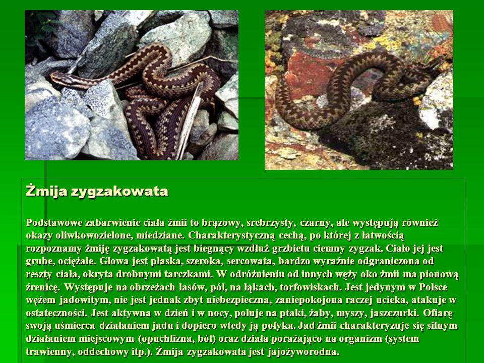 Żmija zygzakowata Podstawowe zabarwienie ciała żmii to brązowy, srebrzysty, czarny, ale występują również okazy oliwkowozielone, miedziane.