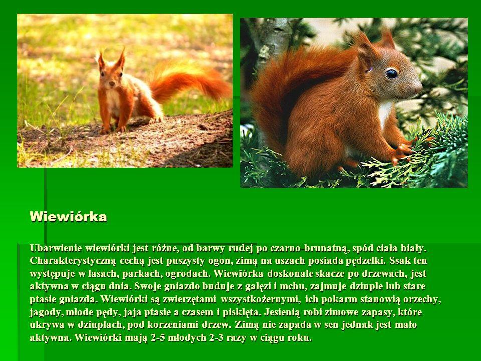 Wiewiórka Ubarwienie wiewiórki jest różne, od barwy rudej po czarno-brunatną, spód ciała biały.