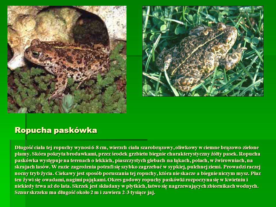 Ropucha paskówka Długość ciała tej ropuchy wynosi 6-8 cm, wierzch ciała szarobrązowy, oliwkowy w ciemne brązowo-zielone plamy.