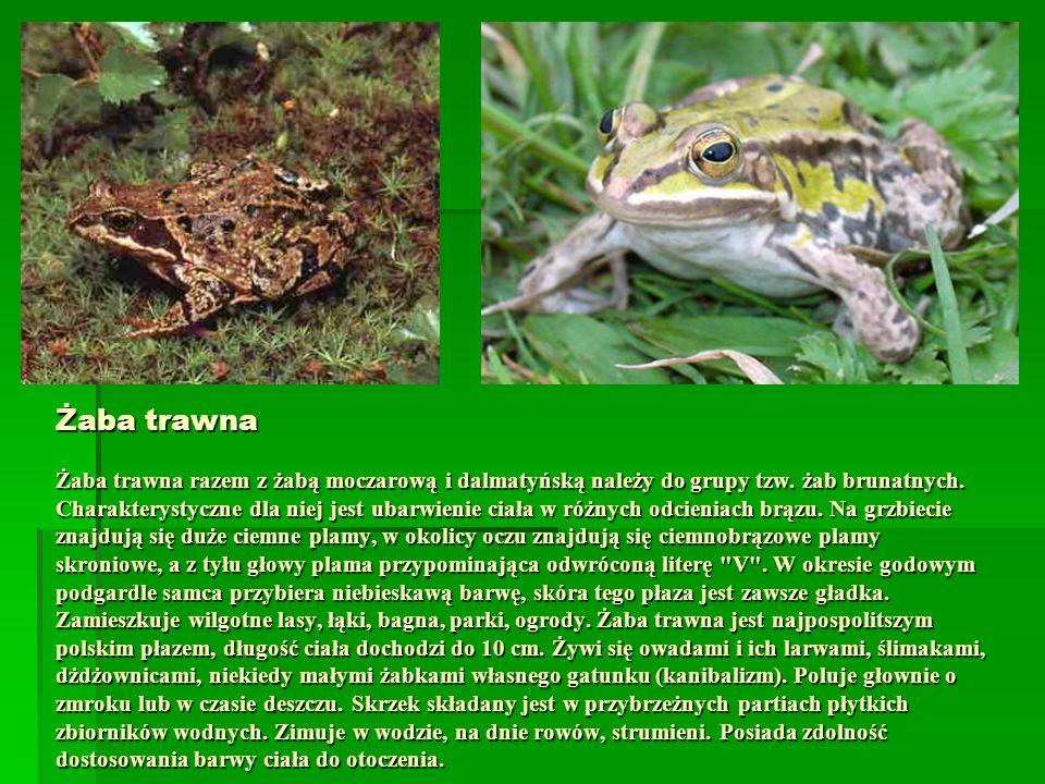 Żaba trawna Żaba trawna razem z żabą moczarową i dalmatyńską należy do grupy tzw.