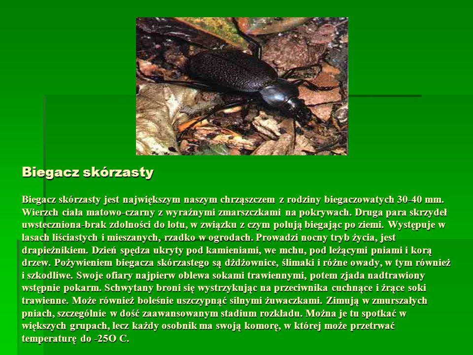 Biegacz skórzasty Biegacz skórzasty jest największym naszym chrząszczem z rodziny biegaczowatych 30-40 mm.