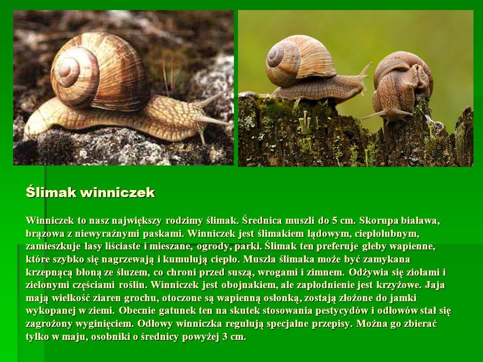 Ślimak winniczek Winniczek to nasz największy rodzimy ślimak