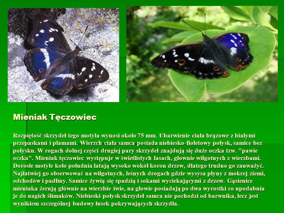 Mieniak Tęczowiec Rozpiętość skrzydeł tego motyla wynosi około 75 mm