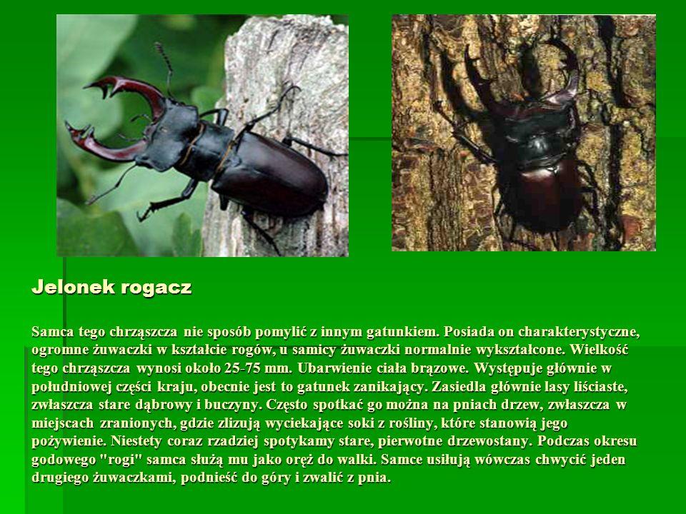 Jelonek rogacz Samca tego chrząszcza nie sposób pomylić z innym gatunkiem.