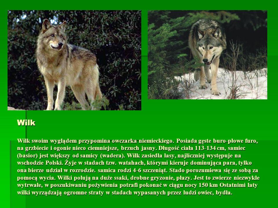 Wilk Wilk swoim wyglądem przypomina owczarka niemieckiego