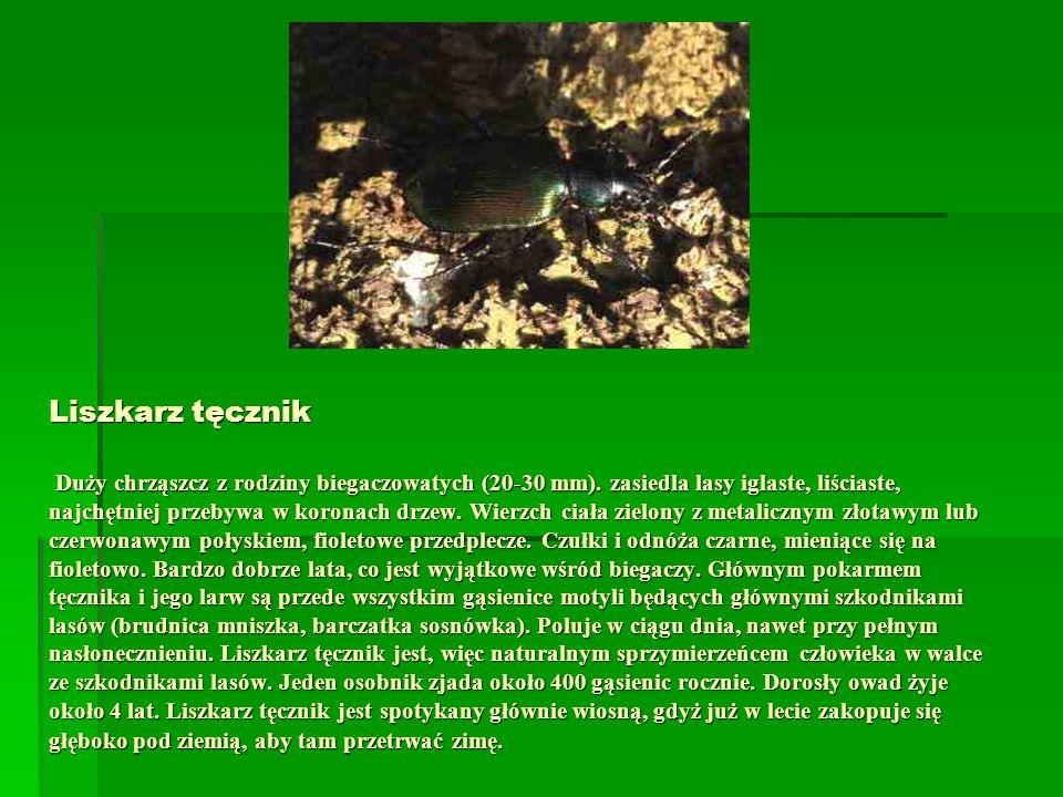 Liszkarz tęcznik Duży chrząszcz z rodziny biegaczowatych (20-30 mm)