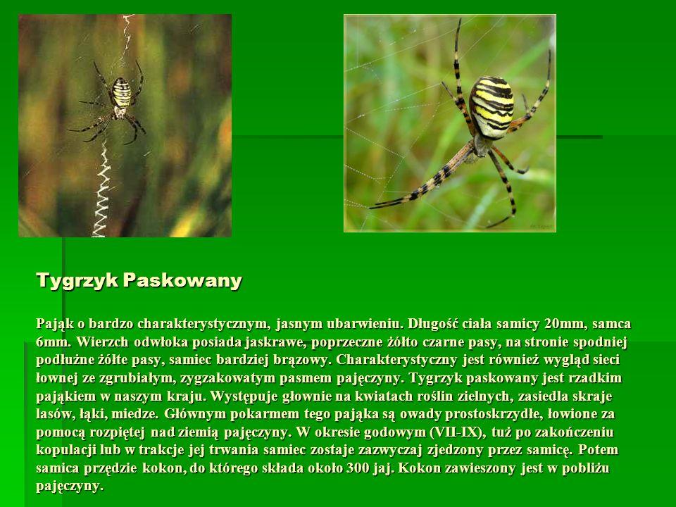 Tygrzyk Paskowany Pająk o bardzo charakterystycznym, jasnym ubarwieniu