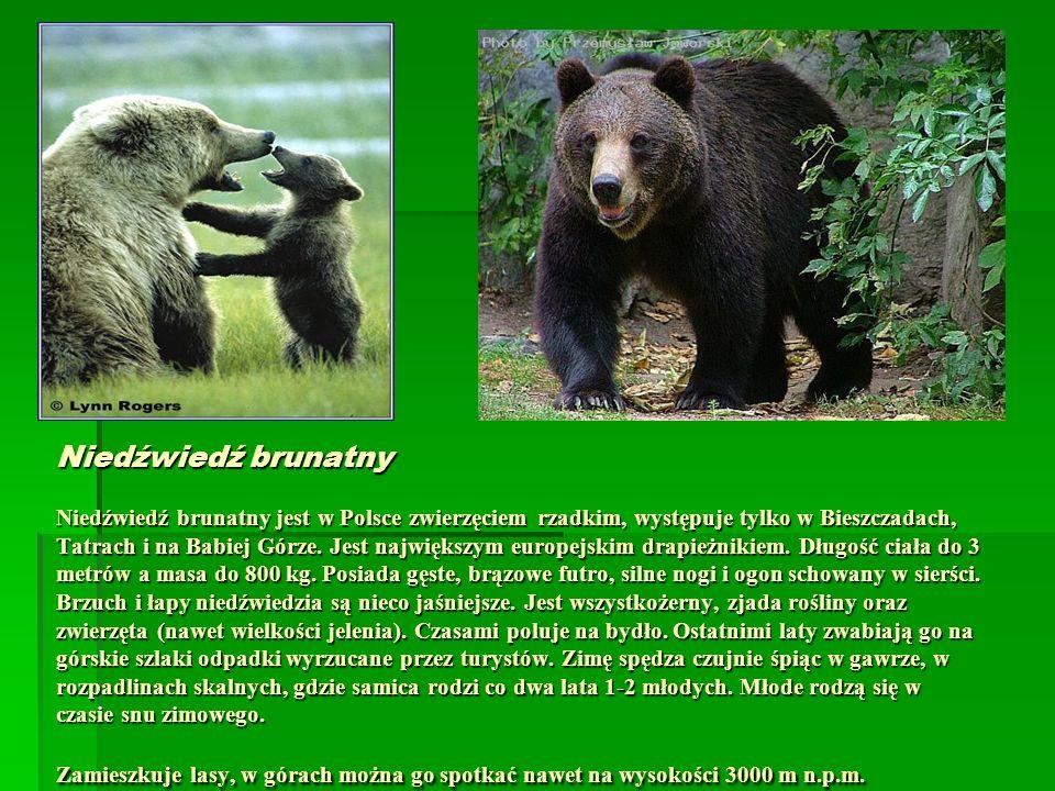 Niedźwiedź brunatny Niedźwiedź brunatny jest w Polsce zwierzęciem rzadkim, występuje tylko w Bieszczadach, Tatrach i na Babiej Górze.