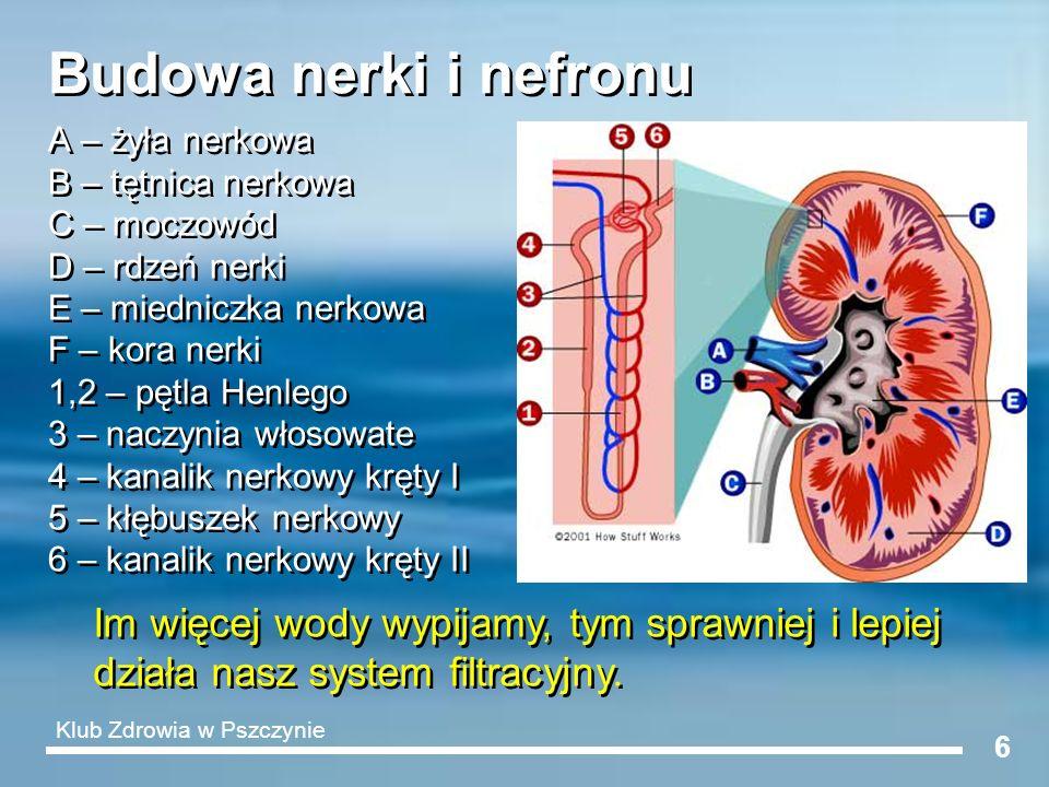 Budowa nerki i nefronu A – żyła nerkowa. B – tętnica nerkowa. C – moczowód. D – rdzeń nerki. E – miedniczka nerkowa.