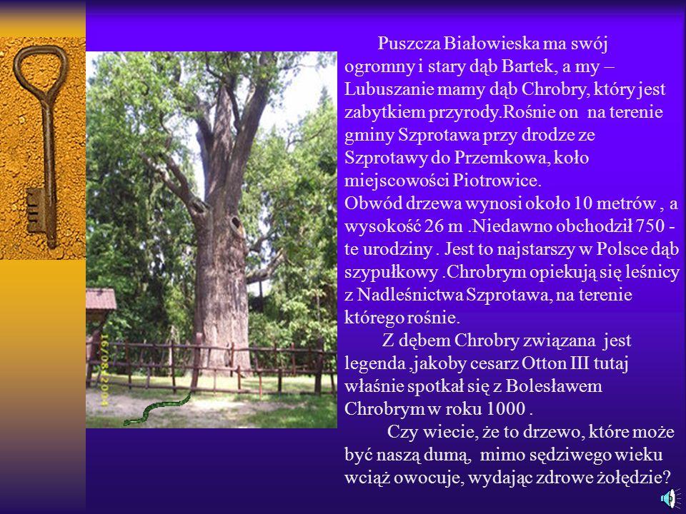 Puszcza Białowieska ma swój ogromny i stary dąb Bartek, a my – Lubuszanie mamy dąb Chrobry, który jest zabytkiem przyrody.Rośnie on na terenie gminy Szprotawa przy drodze ze Szprotawy do Przemkowa, koło miejscowości Piotrowice.