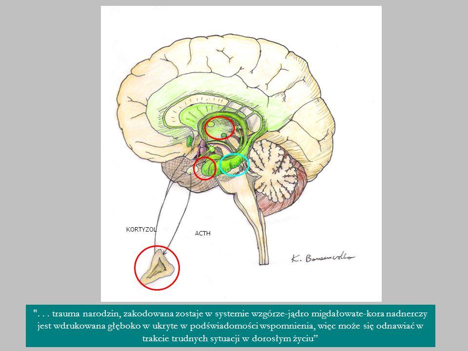 Przyjrzyjmy sie zatem w jaki sposób dzieci percepują bolesne doświadczenia porodowe. Ściezka traumy rozpoczyna się w strukturach wzgórza - Jądro migdałowate jest podstawą wczesnego systemu pamięci emocjonalnej, centrum emocji. To z niego wysyłane sa sygnaly do przysadki, która produkuje ACTH adrenokortykotropiną, stymulującą korę nadnerczy do sekrecji kortyzolu. W ten sposób w reakcji na emocję pobudzony zostaje układ wegetatywny. Istnieje także struktura zwana hipokampem, będąca niejako centrum świadomości, jest podstawą pamięci deklaratywnej, pozwala zamieniać emocje na procesy poznawcze. Jednakże hipokamp zaczyna prawidłowo funkcjonować dopiero w 2 roku życia, do tego czasu emocje, które nie mogą zostać poddane procesom abstrakcyjnym wciaż nanowo pobudzają ukłąd wegetatywny. Dodatkowym problemem jest to, że kortyzol niszczy komórki hipokampa, stały wysoki poziom pobudzenia kory nadnerczy prowadził będzie do nieodwracalnych uszkodzeń tej struktury.
