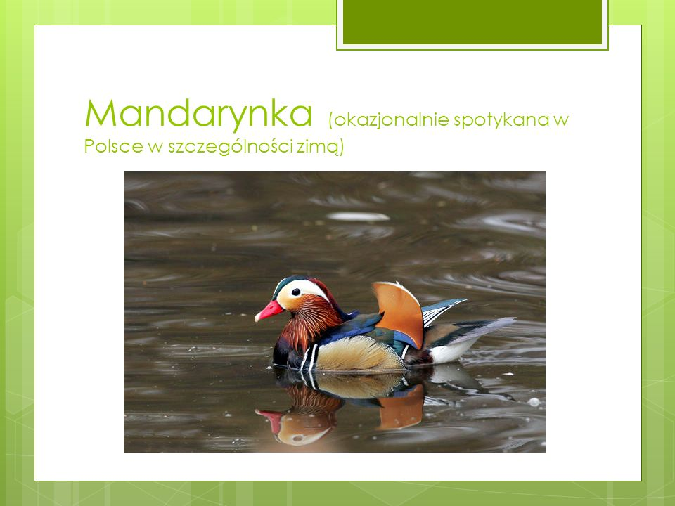 Mandarynka (okazjonalnie spotykana w Polsce w szczególności zimą)