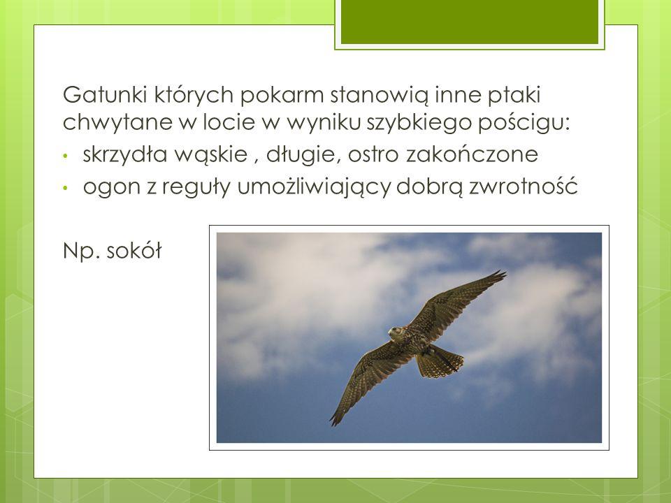 Gatunki których pokarm stanowią inne ptaki chwytane w locie w wyniku szybkiego pościgu: