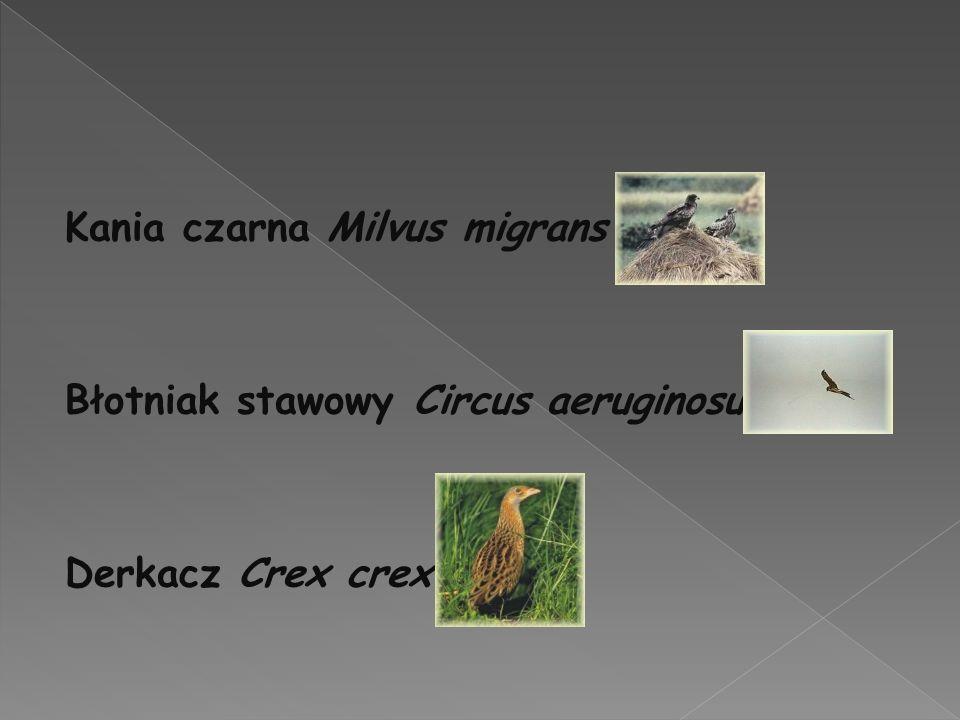 Kania czarna Milvus migrans