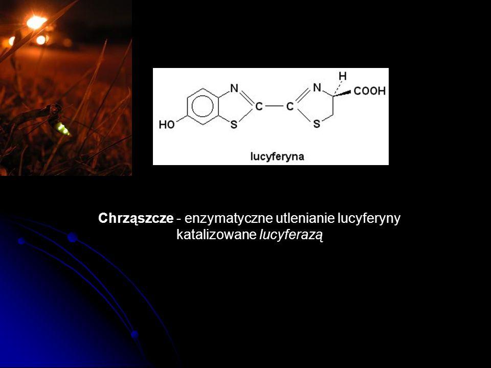 Chrząszcze - enzymatyczne utlenianie lucyferyny katalizowane lucyferazą