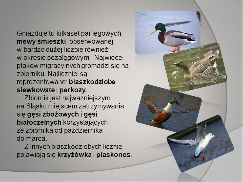 Gniazduje tu kilkaset par lęgowych mewy śmieszki, obserwowanej w bardzo dużej liczbie również w okresie pozalęgowym. Najwięcej ptaków migracyjnych gromadzi się na zbiorniku. Najliczniej są reprezentowane: blaszkodziobe , siewkowate i perkozy.
