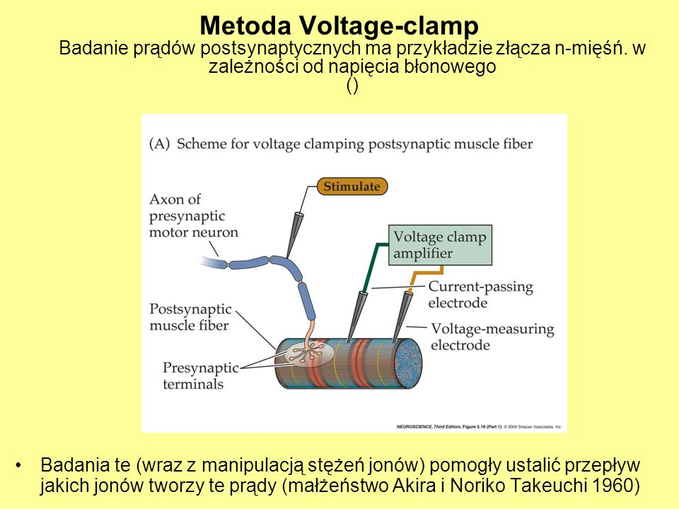 Metoda Voltage-clamp Badanie prądów postsynaptycznych ma przykładzie złącza n-mięśń. w zależności od napięcia błonowego ()