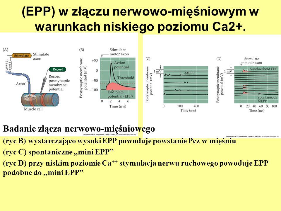 (EPP) w złączu nerwowo-mięśniowym w warunkach niskiego poziomu Ca2+.