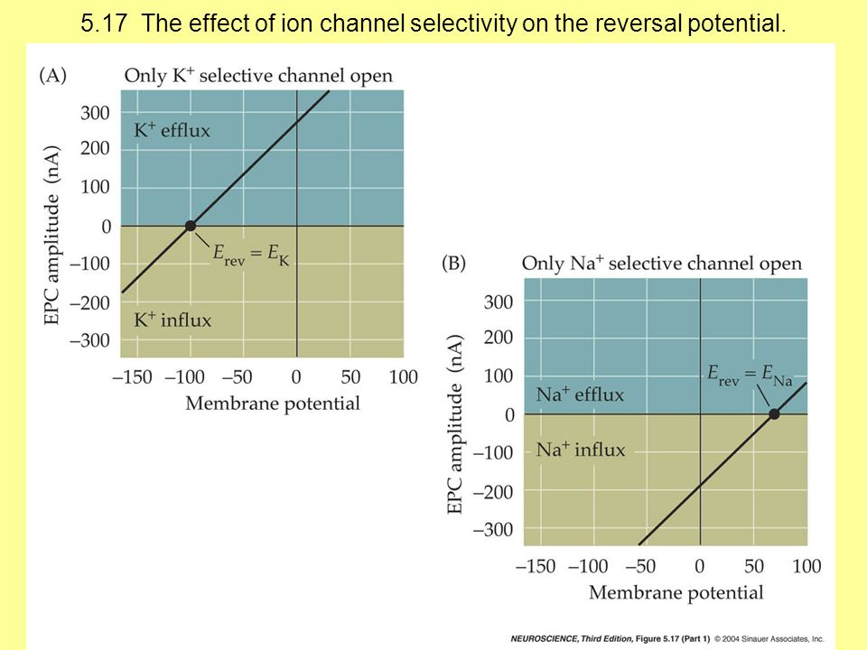 5.17 The effect of ion channel selectivity on the reversal potential.