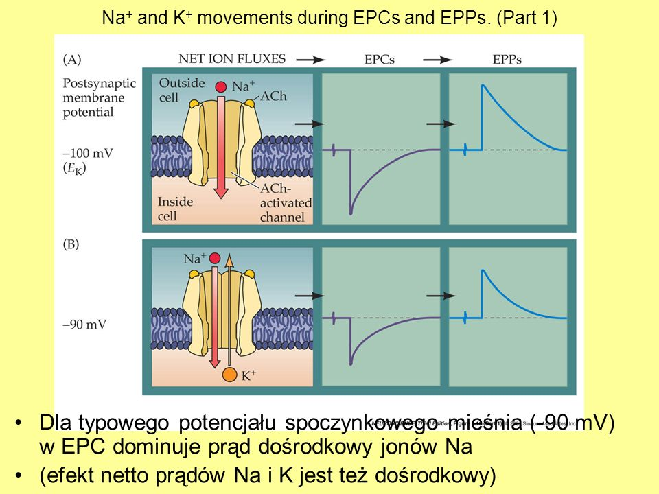 Na+ and K+ movements during EPCs and EPPs. (Part 1)