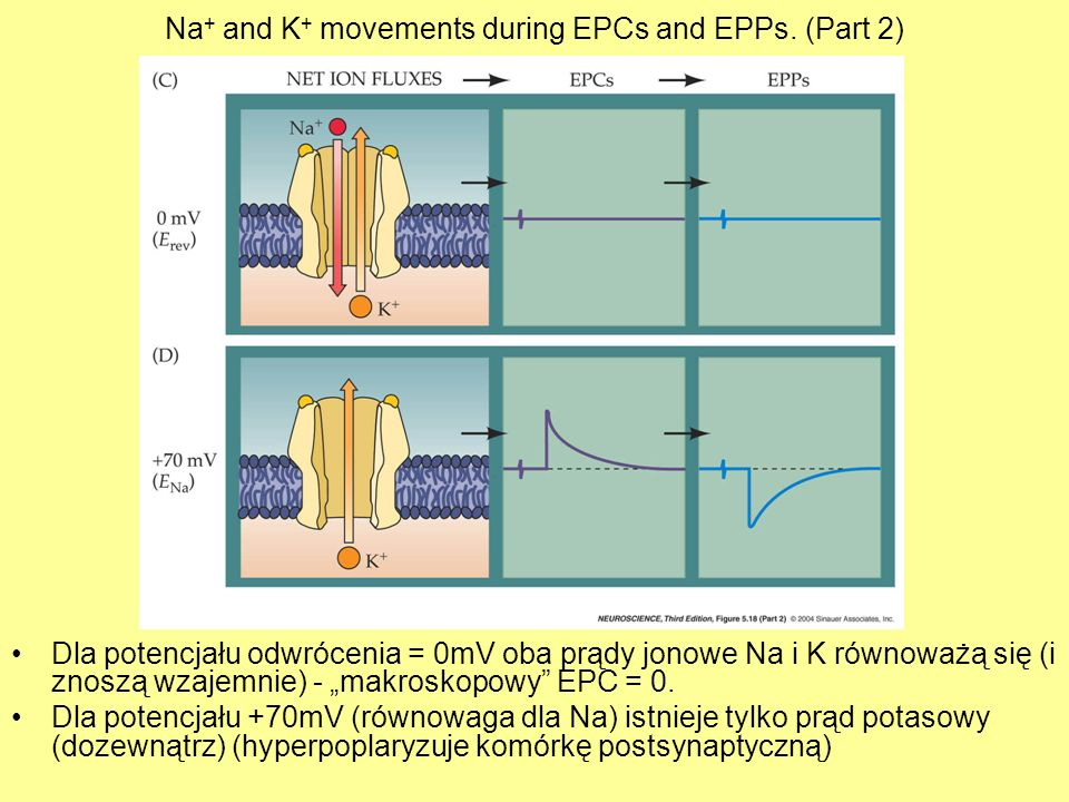 Na+ and K+ movements during EPCs and EPPs. (Part 2)