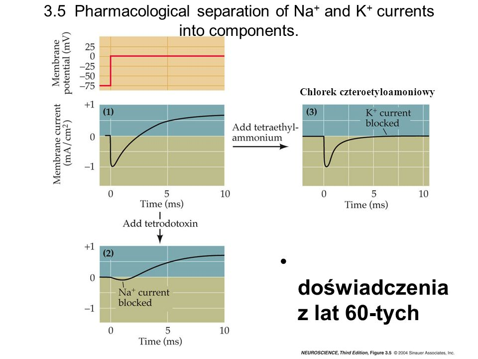 3.5 Pharmacological separation of Na+ and K+ currents into components.