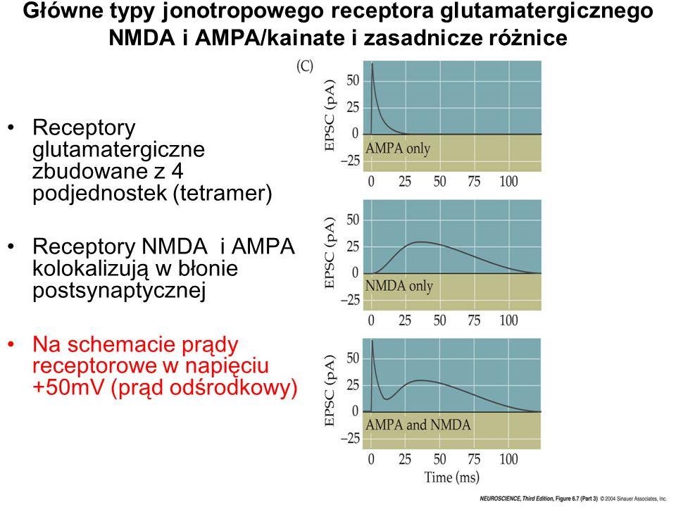 Receptory glutamatergiczne zbudowane z 4 podjednostek (tetramer)