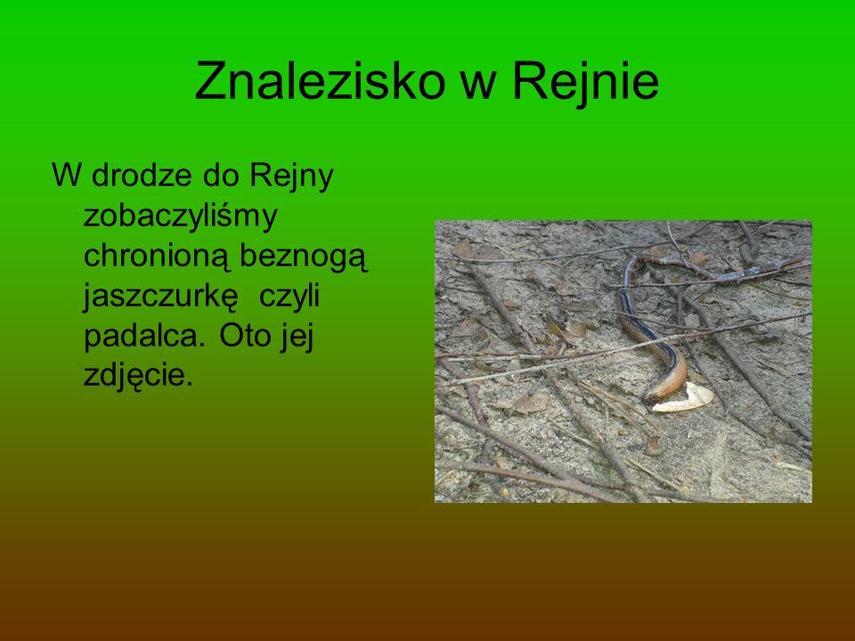 Znalezisko w Rejnie W drodze do Rejny zobaczyliśmy chronioną beznogą jaszczurkę czyli padalca.