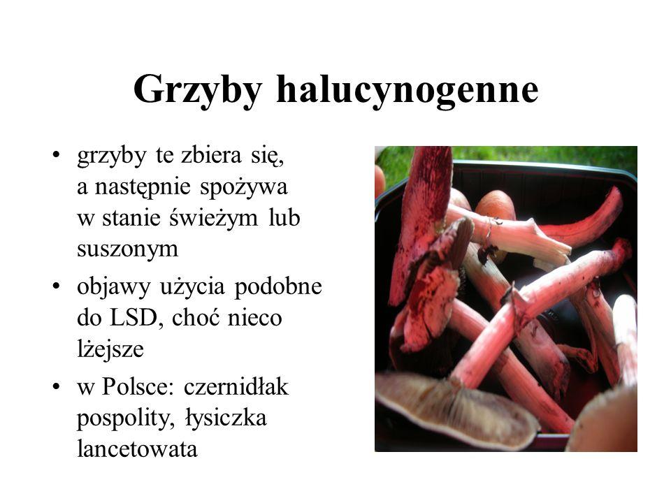 Grzyby halucynogenne grzyby te zbiera się, a następnie spożywa w stanie świeżym lub suszonym. objawy użycia podobne do LSD, choć nieco lżejsze.