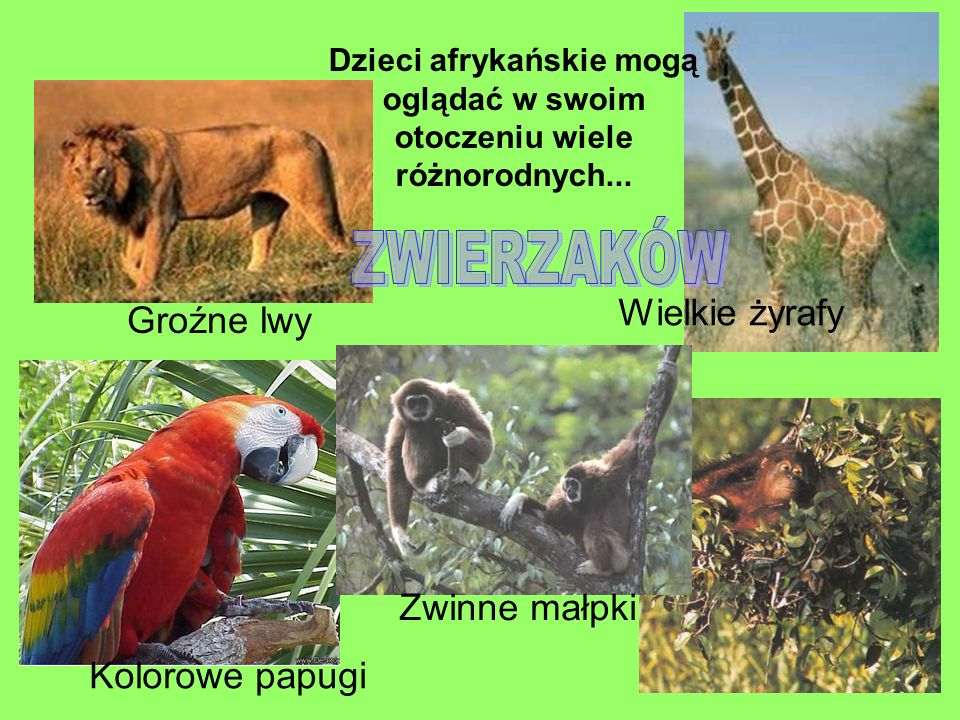 ZWIERZAKÓW Wielkie żyrafy Groźne lwy Zwinne małpki Kolorowe papugi