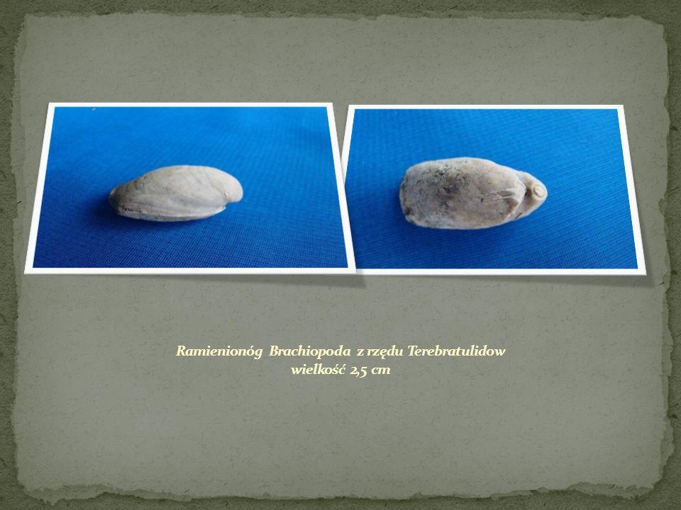 Ramienionóg Brachiopoda z rzędu Terebratulidow wielkość 2,5 cm