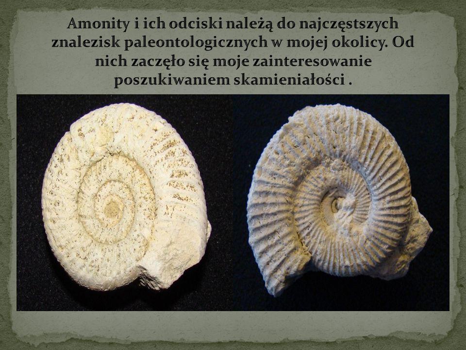 Amonity i ich odciski należą do najczęstszych znalezisk paleontologicznych w mojej okolicy.