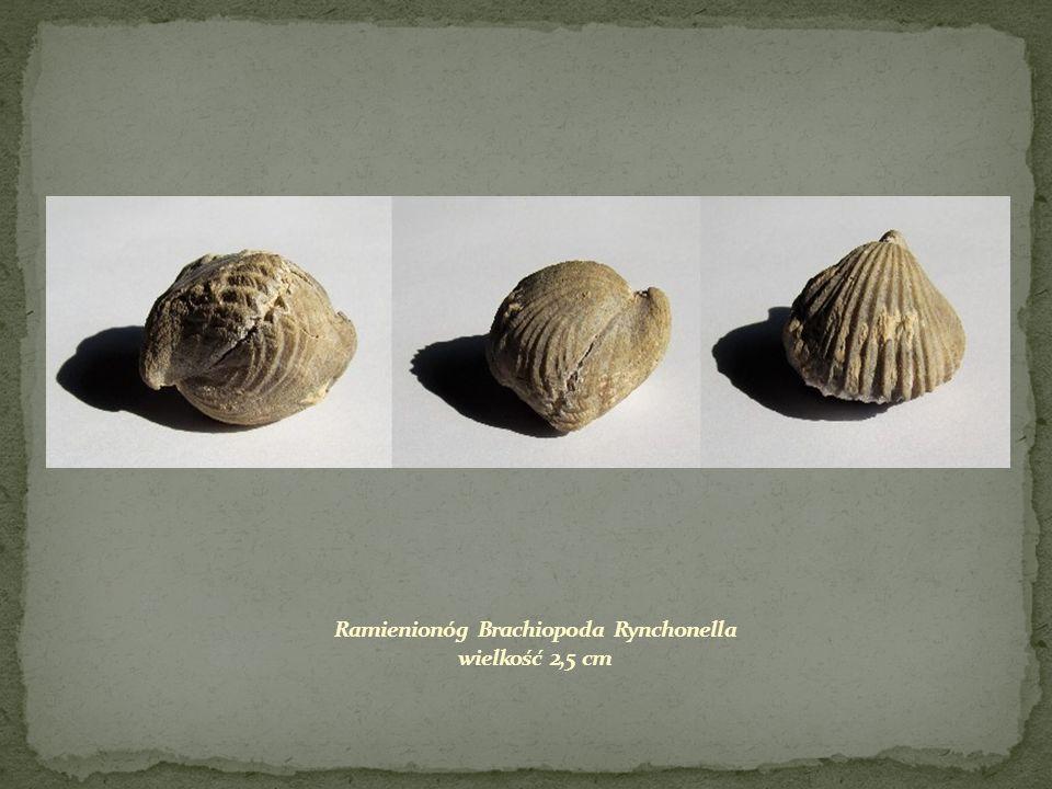 Ramienionóg Brachiopoda Rynchonella wielkość 2,5 cm