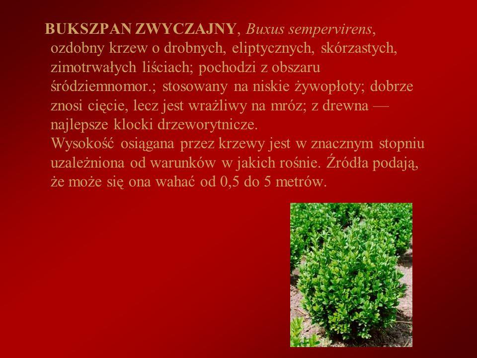 BUKSZPAN ZWYCZAJNY, Buxus sempervirens, ozdobny krzew o drobnych, eliptycznych, skórzastych, zimotrwałych liściach; pochodzi z obszaru śródziemnomor.; stosowany na niskie żywopłoty; dobrze znosi cięcie, lecz jest wrażliwy na mróz; z drewna — najlepsze klocki drzeworytnicze.