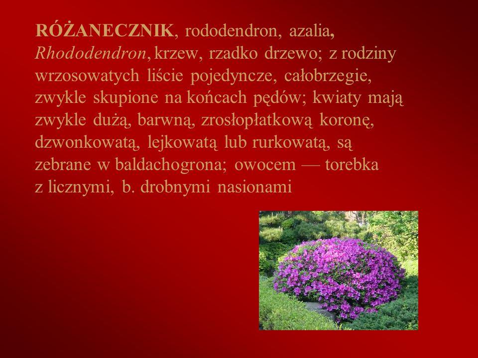 RÓŻANECZNIK, rododendron, azalia, Rhododendron, krzew, rzadko drzewo; z rodziny wrzosowatych liście pojedyncze, całobrzegie, zwykle skupione na końcach pędów; kwiaty mają zwykle dużą, barwną, zrosłopłatkową koronę, dzwonkowatą, lejkowatą lub rurkowatą, są zebrane w baldachogrona; owocem — torebka z licznymi, b.