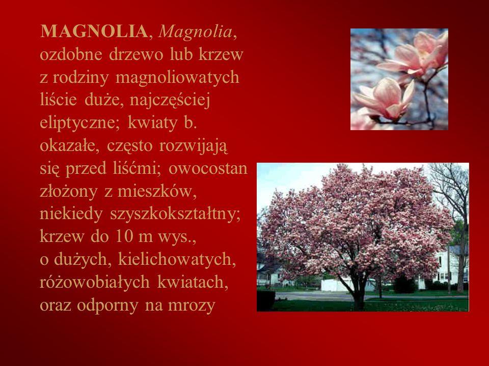 MAGNOLIA, Magnolia, ozdobne drzewo lub krzew z rodziny magnoliowatych liście duże, najczęściej eliptyczne; kwiaty b.