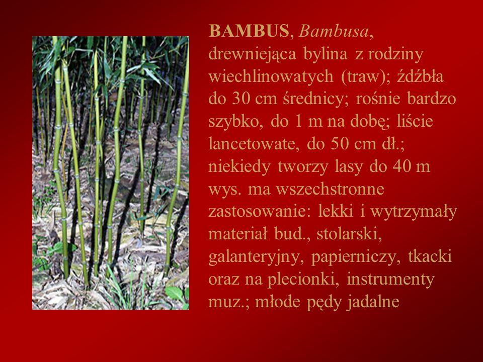 BAMBUS, Bambusa, drewniejąca bylina z rodziny wiechlinowatych (traw); źdźbła do 30 cm średnicy; rośnie bardzo szybko, do 1 m na dobę; liście lancetowate, do 50 cm dł.; niekiedy tworzy lasy do 40 m wys.