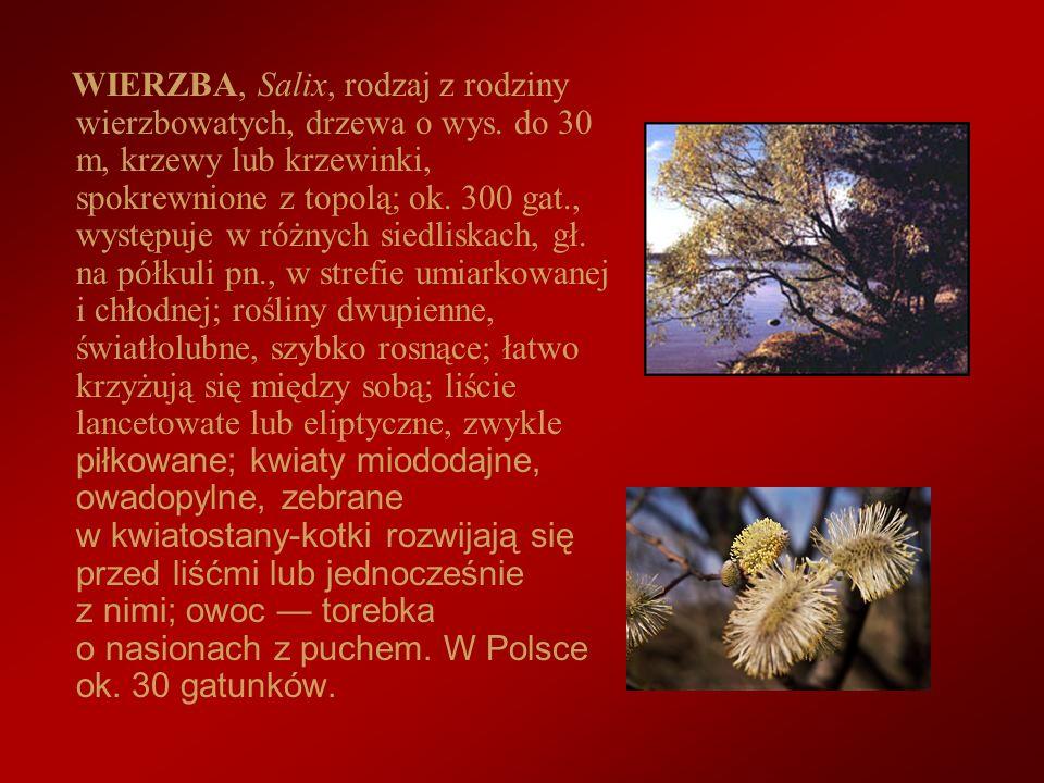 WIERZBA, Salix, rodzaj z rodziny wierzbowatych, drzewa o wys