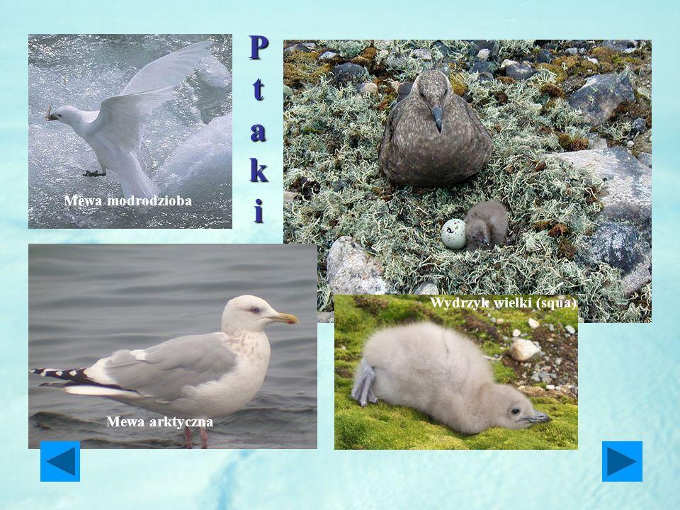 P t a k i Mewa modrodzioba Wydrzyk wielki (squa) Mewa arktyczna