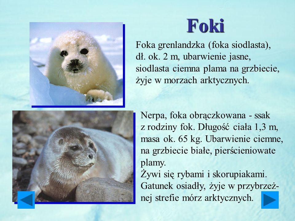 Foki Foka grenlandzka (foka siodlasta), dł. ok. 2 m, ubarwienie jasne, siodlasta ciemna plama na grzbiecie, żyje w morzach arktycznych.